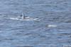 Sei Whale - Chile