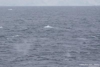 Southern Minke Whale - Antarctica