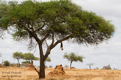 Leopard Kill - Tarangire National Park, Tanzania