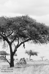 Leopard Kill in East African woodlands - Tarangire National Park, Tanzania