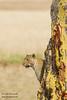 African Leopard - Serengeti National Park, Tanzania
