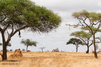 Leopard Kill & Tawny Eagle on the tree on the right - Tarangire National Park, Tanzania