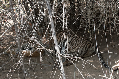 Tiger in the shade - shot from atop a tourist elephant - Kanha National Park, Madhya Pradesh, India