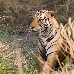 Royal Bengal Tiger - Kanha National Park,  Madhya Pradesh, India