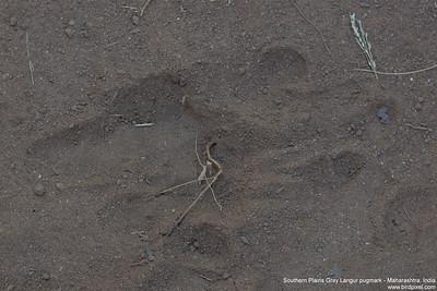 Southern Plains Gray Langur pugmark - Maharashtra, India