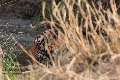 First glimpse of the Bengal Tiger - Kanha NP, Madhya Pradesh, India