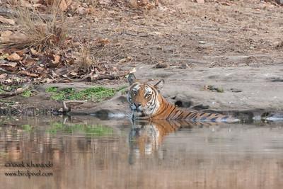 Cooling off in 120F Indian Summer - Royal Bengal Tiger - Bandhavgarh National Park, Madhya Pradesh, India