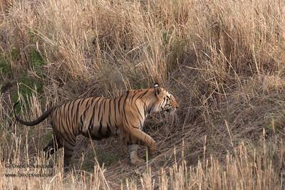 Royal Bengal Tiger climing the bank of a small stream - Kanha National Park, Madhya Pradesh, India