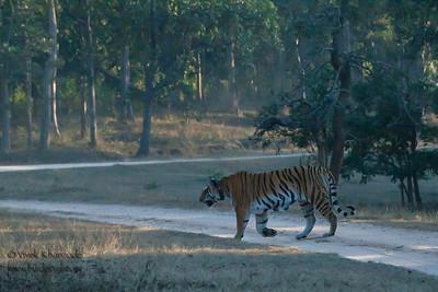 Collarwali - Pench National Park, Madhya Pradesh, India