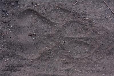 Pugmark of the Bengal tiger - Kanha National Park, Madhya Pradesh, India