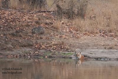 This is the view from the vehicle - Royal Bengal Tiger - Bandhavgarh National Park, Madhya Pradesh, India