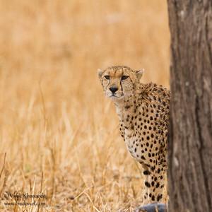 Cheetah - Tarangire National Park, Tanzania
