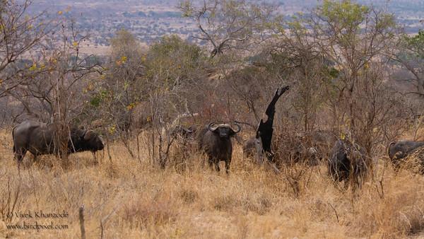 Our first Cape Buffalo Herd - Tarangire National Park, Tanzania