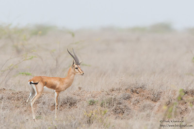 Chinkara - Kutch, Gujrat, India