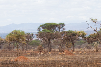 Common Eland - Tarangire National Park, Tanzania