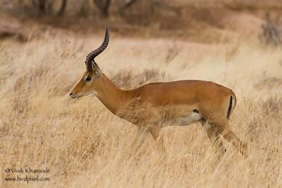 Impala - Male - Tarangire National Park, Tanzania