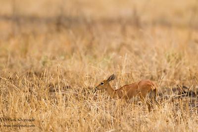 Impala - Female - Tarangire National Park, Tanzania