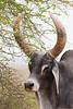 Bull - Kutch, Gujrat, India