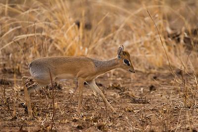 Kirk's Dik-dik - Tarangire National Park, Tanzania