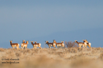 Pronghorn (record) near the Greater Sage-grouse  Shaffer Lek - Nr. Susanville, CA, USA