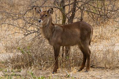 Waterbuck - Male - Tarangire National Park, Tanzania