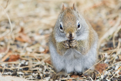American Red Squirrel - Sax-Zim Bog, Nr. Duluth, MN, USA