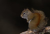American Red Squirrel - Sax-Zim Bog, Nr. Duluth, MN, USA