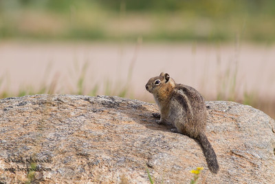 Golden-mantled Ground Squirrel - Rocky Mountain National Park, CO, USA