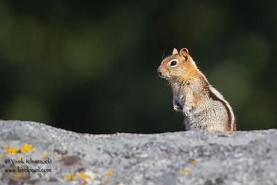 Golden-mantled Ground Squirrel - Wuksachi Lodge, Sequoia National Park, CA, USA