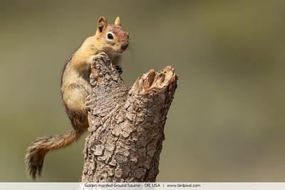 Golden-mantled Ground Squirrel - OR, USA