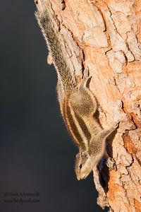 Indian Palm Squirrel - Ambazari garden, Nagpur, India