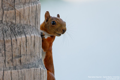 Red-tailed Squirrel - Santa Marta, Colombia