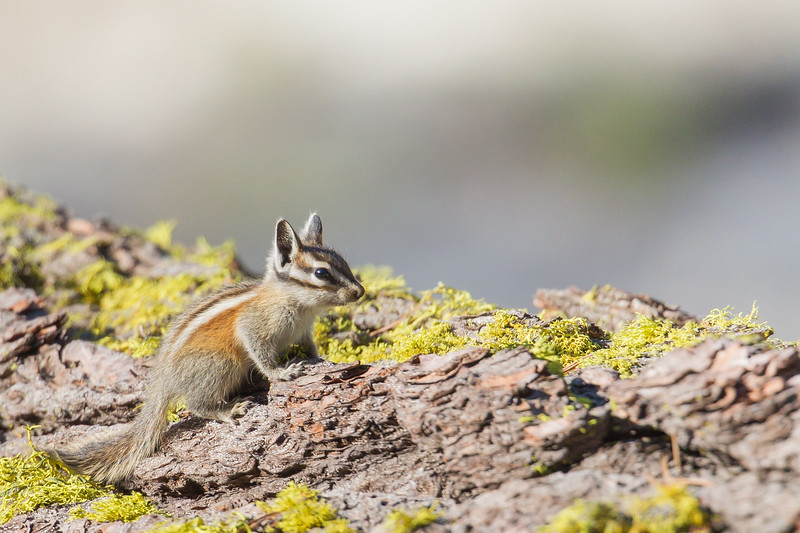 Yellow Pine Chipmunk - Yosemite National Park, CA, USA
