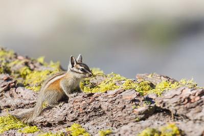 Yellow Pine Chipmunk - Yosemite National Park, CA, USA
