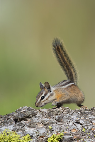 Yellow-pine Chipmunk - OR, USA