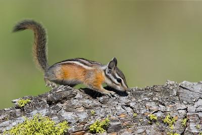 Yellow-pine Chipmunk - OR, USA
