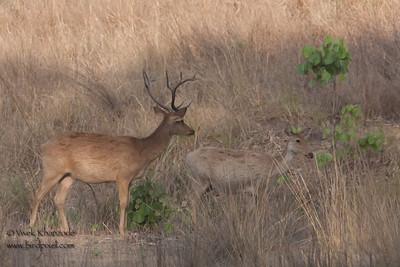 Barasingha (12 horns) or Swamp deer - Madhya Pradesh, India