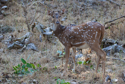 Spotted Deer - Pench National Park, Madhya Pradesh, India