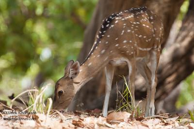 Spotted Deer - Kanha NP, Madhya Pradesh, India