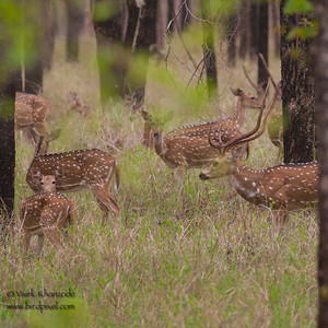 Cheetal deer - Pench National Park, Maharashtra, India