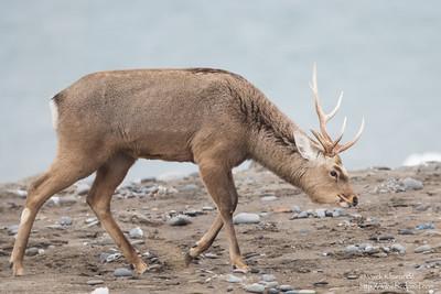 Japanese (Sika) Deer - Hokkaido, Japan