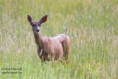 California Mule Deer - Yosemite National Park, CA, USA