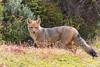 Andean Fox (Culpeo) - Chile