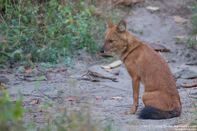 Indian Wild Dog (Dhole) - Maharashtra, India