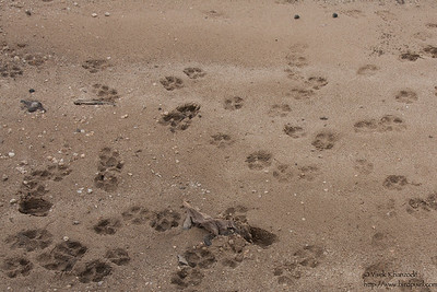 Dhole / Indian Wild Dog footprints - Pench National Park, Maharashtra, India