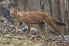 Dhole (Indian Wild Dog) - Pench National Park, India