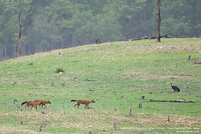 Dhole / Indian Wild Dogs - Pench National Park, Maharashtra, India