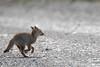 South American Gray Fox - Provenir, Chile