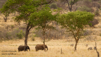 African Elephants and Plains Zebras - Tarangire National Park, Tanzania