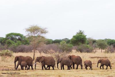 African Elephants - Tarangire National Park, Tanzania